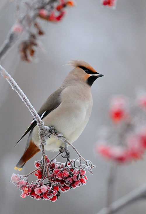 Waxwing and Ash berries (Finland)  photo by mattisj flickr