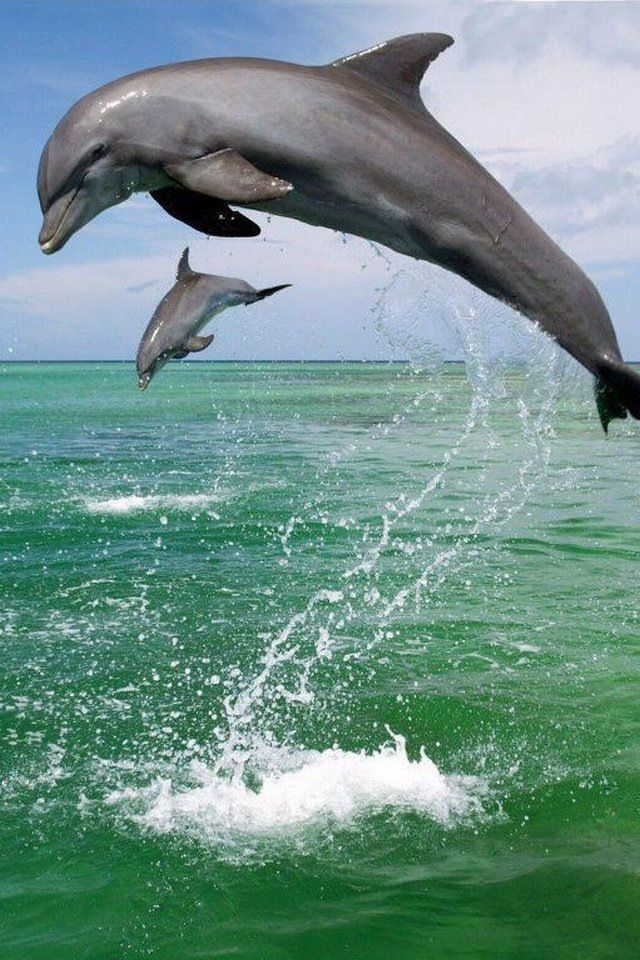 Each dolphin has it's own unique signature sound that is used like a name while they are in their community pods. #conservation #dolphin