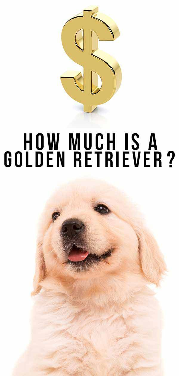 How Much Is A Golden Retriever Puppy To Buy And Care For