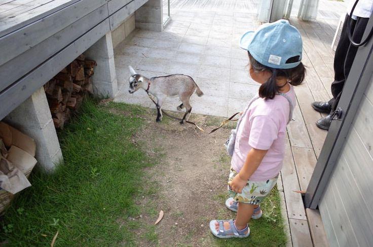 ‐ 気分 de ハイジ. ‐ ‐ ‐  #teahouselacasa   #ラカーサ安城   #安城カフェ   #三河カフェ   #愛知カフェ   #山羊   #ヤギ   #アルプスの少女ハイジ   #動物   #animal   #kids   #kidsgirl   #kids_japan   #kidstagram   #igkids   #instakids    #日常   #生活   #暮らし   #日々   #くらし  #日々の暮らし  #暮らしを楽しむ   #日々のこと   #三河くらし   #こどものいる暮らし   #simplelife   #instalife   #instaday    #instadaily