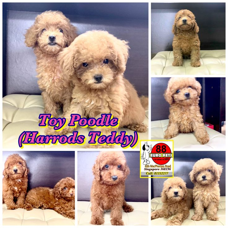 Toy Poodle Harrods Teddy Edition Purebreed Bubbly Character Intelligent And Hypoallergenic 2 Toy Poodle Puppies Poodle Puppy Pomeranian Puppy For Sale