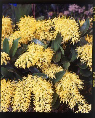 Australian native. Rock Orchid, Dendrobium speciosum
