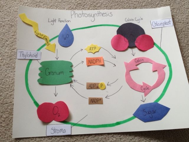 Best ideas about Photosynthesis Activities on Pinterest     Fisher   ru