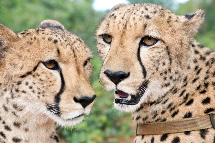 Cheetah interaction