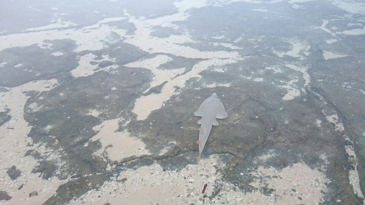Shovelnose ray/shark having a nap in the shallows