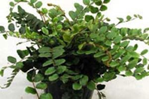 Cliff Brake Additional Common Names: Button Fern, Green Cliff Brack, Cliff Break Scientific Name: Pellaea rotundifolia Family: Pteridaceae Toxicity: Non...