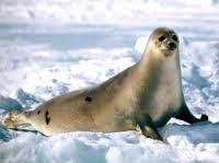 Lachtan arktický