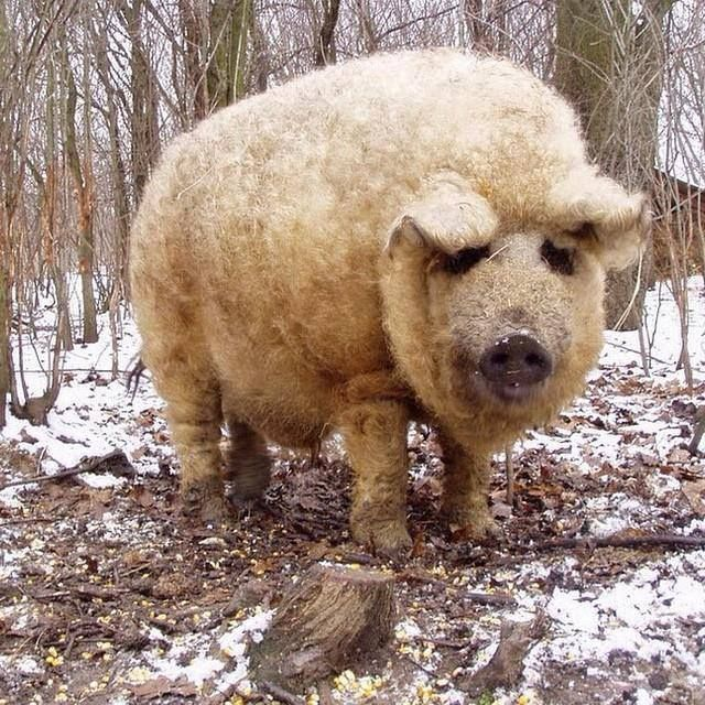WOOLLY PIG  The Mangalitsa pig from Europe descends directly from wild boar populations. They grow a hairy 'fleece', akin to that of a sheep.  via Frans de Waal - Public Page FB