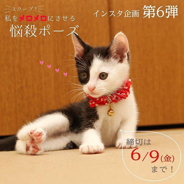 インスタ企画 第6弾❣️「スクープ!私をメロメロにさせる悩殺ポーズ」は、今週6/9(金)が締切です🙈💕まだご応募されてない方々、お待ちしておりまーす✨お気軽にご参加ください😘💪🏻📷詳しくは、ねこ公式サイト(プロフィールURLから飛べます)のインフォメーションをチェック🤔❣️ #neko_magazine #ねこ #猫 #ネコ #ねこ写真 #catstagram #ilovecat #ilovecats #cat #cats #neko #愛猫 #アイドルねこ #savethecat #うずらちゃん #テトくん #千代丸 #子猫 #ねこ雑誌 #ニャステ #ぽち男 #たま子 #ねこマガジン #ねこといぬ #猫と犬 #犬と猫 #いぬねこ #犬 #dog #犬と暮らすねこ