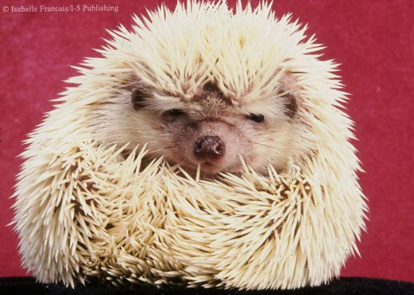 Best Hedgie Love Images On Pinterest Baby Hedgehogs Baby - This instagram account will satisfy your addiction for adorable hedgehogs