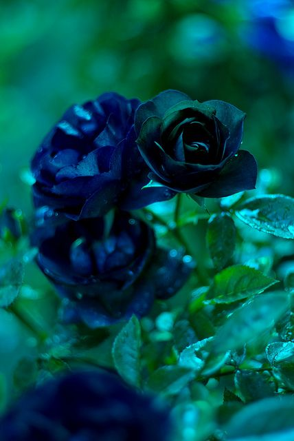 25 best ideas about blue roses on pinterest roses purple roses and most beautiful flowers. Black Bedroom Furniture Sets. Home Design Ideas