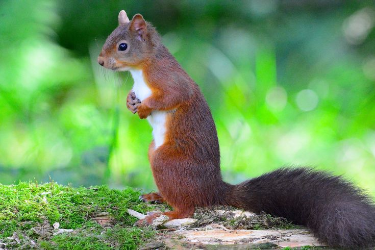 https://flic.kr/p/ys52aa | Red Squirrel | I would like to thank everyone who take the time to view and comment on my photographs it is greatly appreciated and encouraging