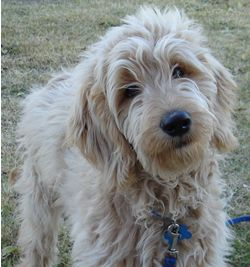 GoldenDoodles (golden retriever/standard poodle mix) This is will our next BIG dog... so cute:)