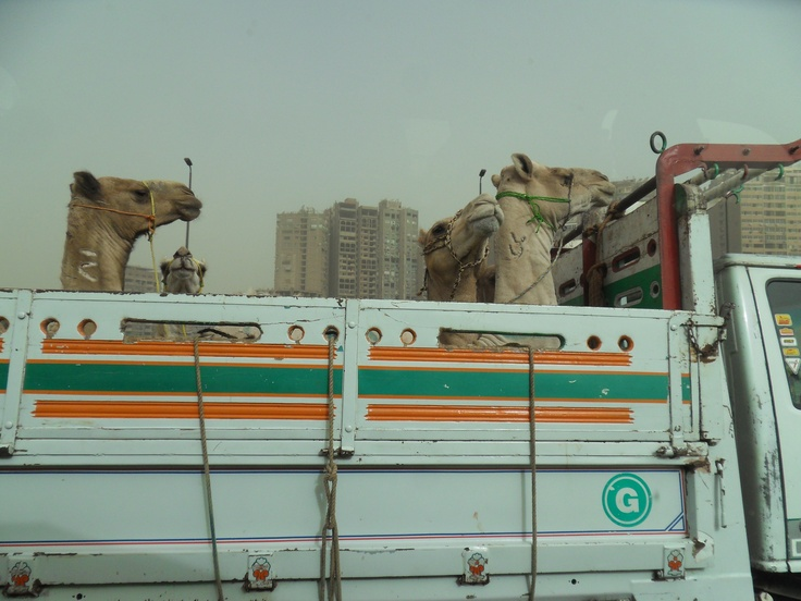 How camels travel in style