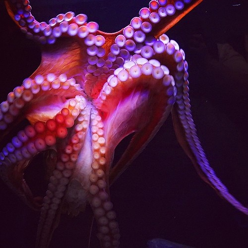 animals, octopus, pink, purple