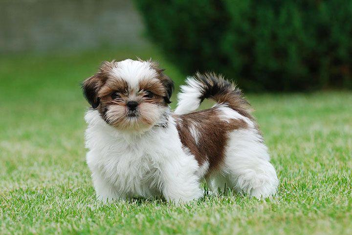 Découvrez les races de chiens les plus aimées à travers le monde