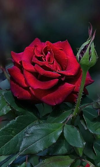 Red rose  = Passion