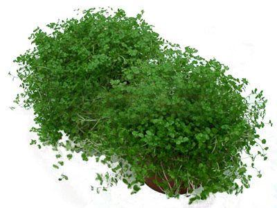 Солейролия (Soleirolia) - Цветочный форум
