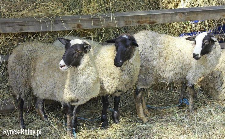Owce romanowskie
