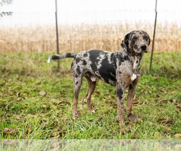 Litter Of 12 Catahoula Leopard Dog Puppies For Sale In Wellman