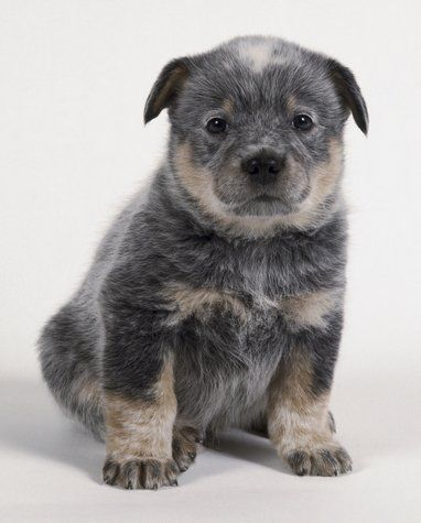 Most Inspiring Super Chubby Adorable Dog - a430ff183fd0ae5d752ca56f084adf4a--dog-friends-australian-cattle-dog  Trends_864899  .jpg