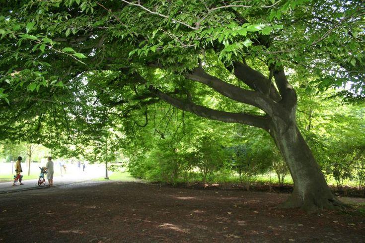 Peque a selecci n de rboles para dar sombra hijos for Arboles de sombra para jardin