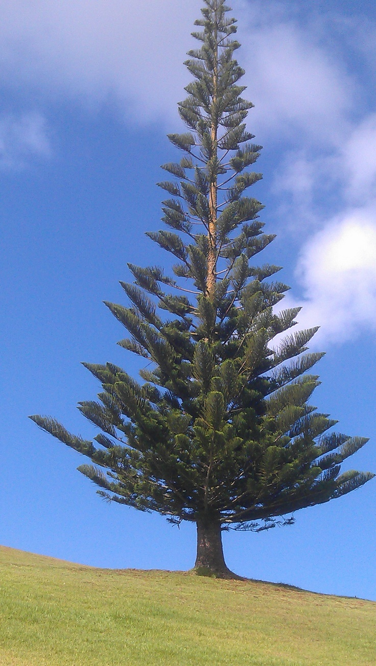 "This Pine Tree looked very regal in amongst the art.  It clearly had a ""look at me"" air about it.  http://www.matakanacountry.co.nz/home/home/ #Matakana #NZ #travel #nature"
