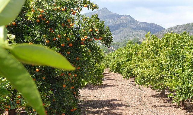 Campos de cultivo Naranjas Marisa