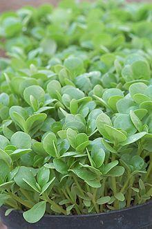 Salladsportlak, Green Purslane ekologiskt frö