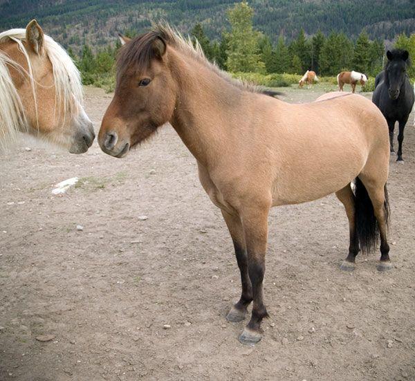 Icelandic Horses For Sale