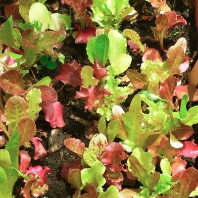 Harvesting Leaf Lettuce: How To Pick Leaf Lettuce -  Unlike head lettuce, leaf lettuce grows in leaves and does not form a head. Leaf lettuce is the easiest of lettuces to grow, and this article provides tips for harvesting leaf lettuce so you can enjoy the crop continuously.