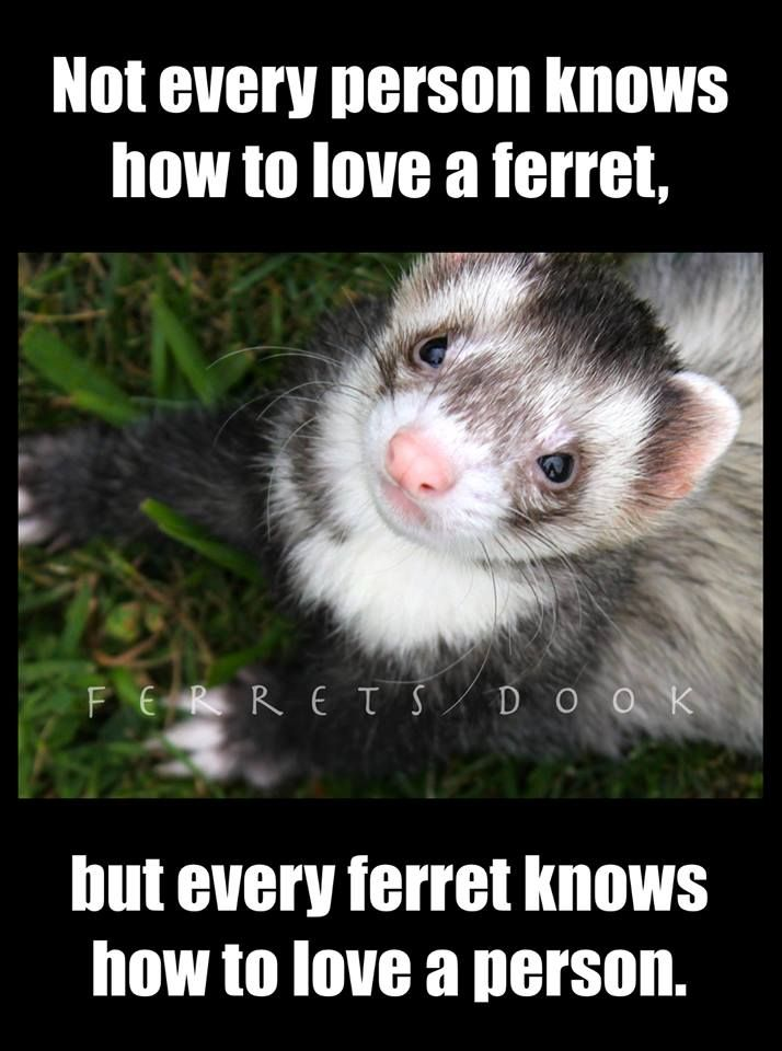 pin ferret meme on - photo #17