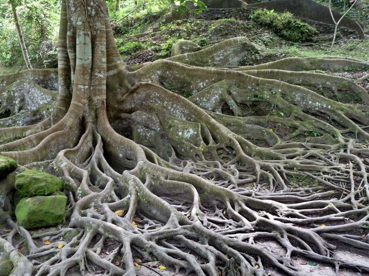 les 25 meilleures idées de la catégorie racines arbre sur