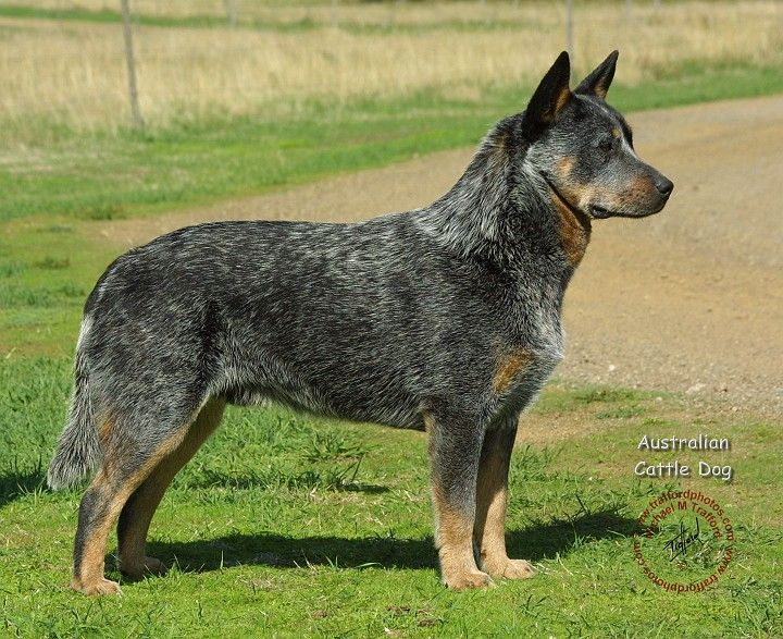 Australian cattle dog. This guy looks just as big as duke!  Dukes new weight is 83 lbs!!!!