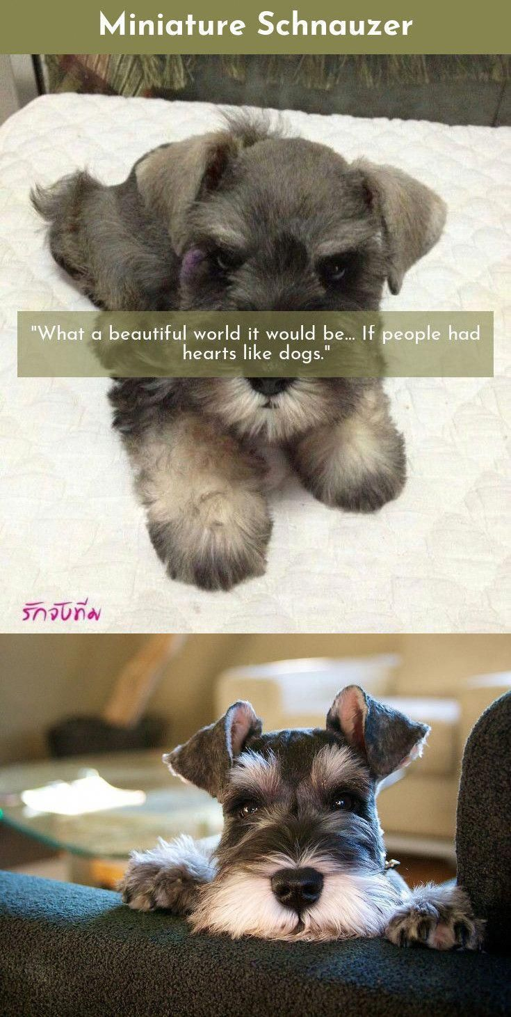 The Greatest Fear Dogs Know Is The Fear That You Will Not Come Back When You Go Out The Door Without Them Miniature Schna Miniature Schnauzer Schnauzer Dogs