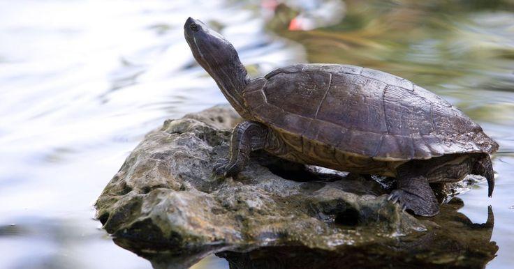 Como as tartarugas respiram durante a hibernação . As tartarugas, pertencentes à família dos répteis, possuem um sistema metabólico de sangue frio. Esse sistema requer uma fonte externa de calor que providencie a energia para movimentos e o sustento da vida propriamente dita. Com a aproximação do inverno, tartarugas do tipo aquático podem não sobreviver às temperaturas gélidas, entrando assim no ...