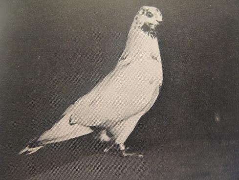 Portuguese Tumbler photo circa 1950