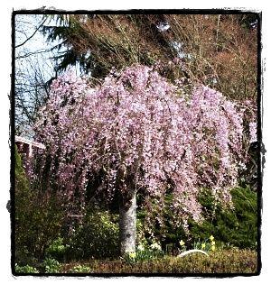 1000 ideas about flowering cherry tree on pinterest - Gainesville craigslist farm and garden ...