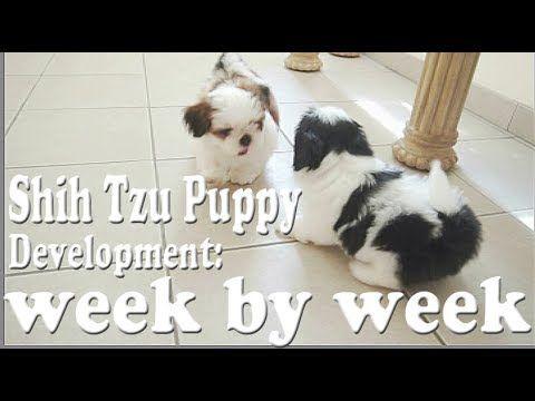 Shih Tzu Puppy Development Week By Week Youtube In 2020 Shih Tzu Puppy Puppy Development Shih Tzu