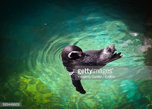 Stock-Foto : High Angle View Of Penguin Swimming In Pond At Zoo
