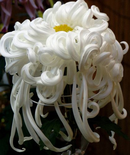 Kiku art du chrysantheme