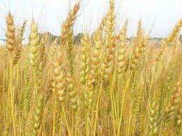 Wheat, Barley and Rye Are NOT Celiac Foods