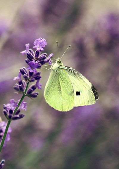 """watercolors-intherain: """"cabbage butterfly by cloe-patra """""""
