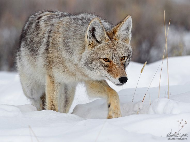 Stalker (With images) Coyote hunting, Animals wild, Pet fox
