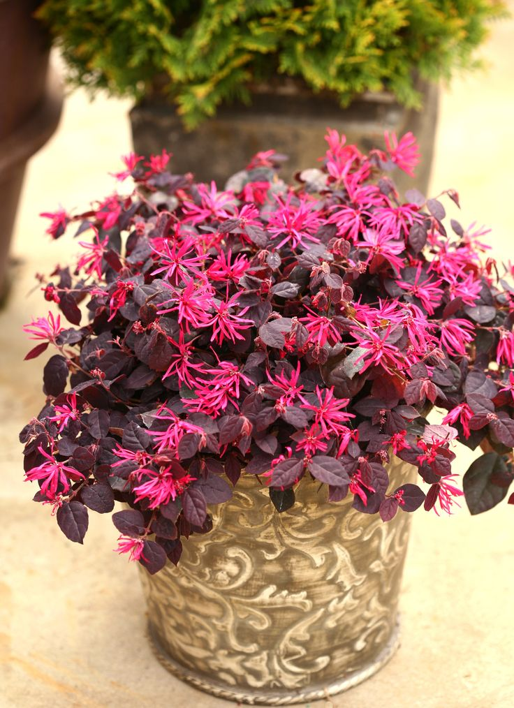 1000 Images About Shrubs For Containers On Pinterest