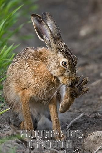 European Rabbit hare | European Hare ( Lepus europaeus ) stock photo