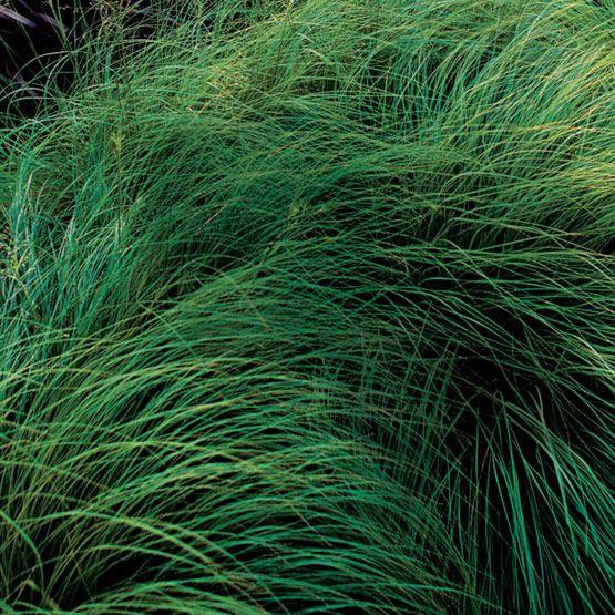 Sporobolus heterolepsis prairie dropseed for ground for Short grasses for landscaping