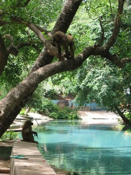 Yankari National Park, Wiki Warm Springs,  Nigeria - yes, we did swim with the baboons in the trees above us! - http://www.travelblog.org/Photos/1168706