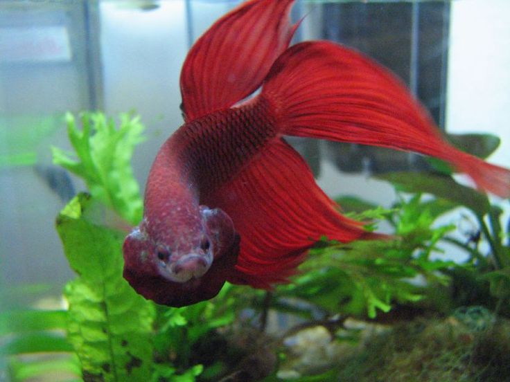 Beautiful red veil tail betta in fight mode siamese for Betta fish personality