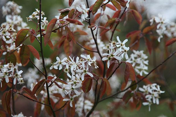 Amelanchier lamarckii - Delicate, star-shaped, white flowers in March to April and bronze leaves maturing to dark green and then orange and red in autumn. Noted for its beautiful autumn leaf colour, this upright-stemmed shrub or tree is an ideal specimen plant for a shrub or mixed border in full sun or part-shade.